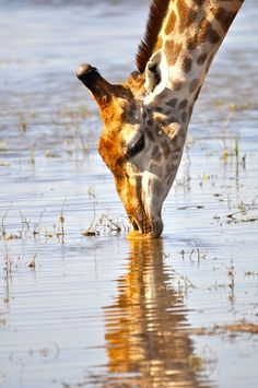 Giraffe drinking in Botswana waters Please follow link: https://my.charitywater.org/36-pictures-a-day Thank you :)
