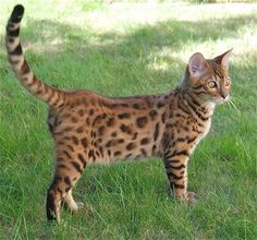 Bengal Cat - Smartest Cat Breed