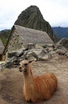 50 fotos de viagem a Machu Picchu: as lhamas são os bichos mais comuns nessa cidade inca. Veja outras imagens de Machu Picchu, que é uma das Maravilhas do Mundo.