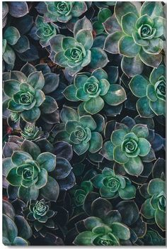 Succulents Canvas Giclee Print