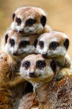 a meerkat family portrait Nature Animals, Animals And Pets, Beautiful Creatures, Animals Beautiful, Cute Baby Animals, Funny Animals, Mundo Animal, Tier Fotos, African Animals