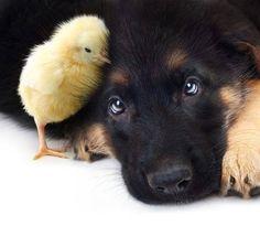 GSD Puppy & little friend