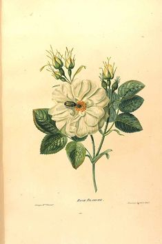 Rosa alba, white rose. Vincent (born Rideau du Sal), Henriette Antoinette, Etudes de fleurs et de fruits, (1820).  Illustration contributed by the Chicago Botanical Garden, U.S.A. Antique botanical rose illustration.