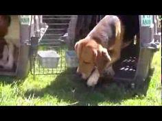 Beagles ven el Sol por primera vez salvados de un laboratorio No te pierdas este video con los primeros momentos de libertad de estos 30 beagles salvados tras una vida en un laboratorio