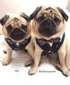 Getting all dapper on a Wednesday cause what else are you going to do on a Wednesday! Photo by @otisthepugwalsh Want to be featured on our Instagram? Tag your photos with #thepugdiary for your chance to be featured.