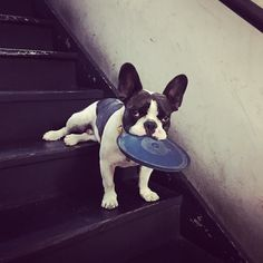 Mumm this stairway are killing my back legs! #frenchie…