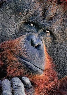 Orangutan; Photo by Photographer José Miguel Rodríguez - photo.net