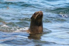 Swimming with wild sea lions in Baja, Mexico: http://itravelforanimals.com/2011/04/close-encounter-baja-sea-lions/