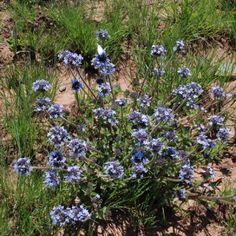 Pentanisia prunelloides Lilac Flowers, Perennials, Grass, Bloom, Herbs, Leaves, Plants, Dwarf Lilac, Grasses