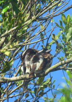 1-White-eared Barbets, Emdneni Lodge, oct 3, 2016.IMG_1792