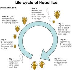 Life-Cycle-Of-Head-Lice