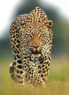 Funny Wildlife — Leopard on the prowl by Michael Poliza Nature Animals, Animals And Pets, Cute Animals, Wild Animals, Big Cats, Cool Cats, Beautiful Cats, Animals Beautiful, Chat Lion