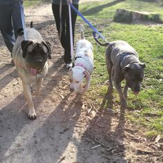 Three amigos! #millythemastiff #englishmastiff #pitbull #englishmastiffsofinstagram #mastiff #mastiffgram #mastiffsofinstagram #dogstagram #dogsofig #dogsofinstagram #dogsandpals #mydogiscutest #dogsfea1ure #pawsandpaws #lacyandpaws #gentlegiant #gentlegiantoftheday #mastiffoftheday #worldofcutepets #dogoftheday #giantbreedlovers #mastiffoftheday #flapsofdestiny #dog_features #sendadogphoto #thepetground #bigdogsofinstagram1 #bigdogsofinstagram #dogsofboston by milly.the.mastiff