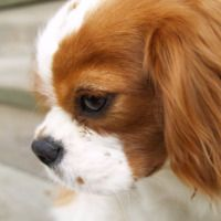 View the 252 best Cavalier King Charles Spaniel Photos, Cavalier King Charles Spaniel Images, Cavalier King Charles Spaniel Pictures. Download photos or share to Facebook, Twitter, Tumblr, Blogger