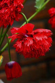Red Amapola