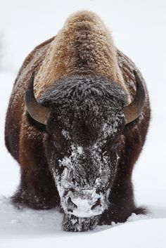 "Source: ""Head-On"" by Doug Dance Nature Photography taken in Lamar Valley, Yellowstone National Park. Via Exactly..."