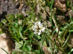 Hairy Bittercress: let battle commence | Nature Notes from Dorset