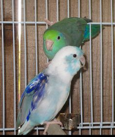Heavy Blue Pied Male & Turquoise Lucida Hen