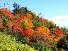 Colored leaves.   Mt.Shirane-san. Kusatsu, Japan