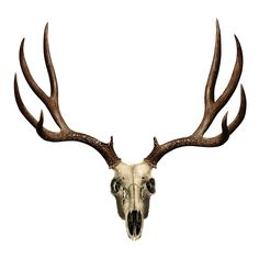 51 best anatomy head deer images on Pinterest | Wild animals, Animal ...