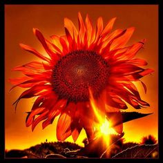 Way cool, I totally LOVE SunFlowers