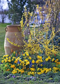 Les forsythias sont de sortis pour ce Printemps ! #fleurs #jaunes #jardin