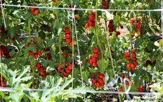 3925311_pomidori (640x400, 315Kb)