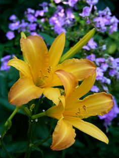 AUGUST PIONEER daylily, 1939 – Our longest blooming daylily, up to 8 weeks! Its color is something special, too, a softly glowing orange with hints of apricot that blends in harmoniously yet will draw you across the garden.