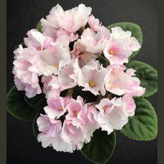 Hunter's Vertigo (K. Muzalweski) Single/semidouble, pink bell, white puff fantasy. Green foliage. Semiminiature #huntersvertigo #huntersviolets #muzlewskiviolets #semiminiatureafricanviolet #semiviolet #AVSA #africanviolet #indoorplant #houseplant #saintpaulia #senpolia #africanvioletlovers #fialka #africanvioletsocietyofamerica #flowers #bloom #fialki #flowerstagram #flowersofinstagram Outdoor Plants, Air Plants, Easy House Plants, Saintpaulia, African Violet, Garden Spaces, Flower Pictures, Houseplants, Perennials