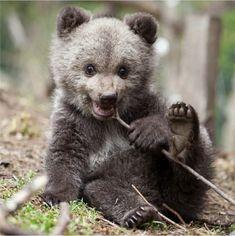 Grizzly Bear Cub, Bear Cubs, Woodland Creatures, Woodland Animals, Black Bear, Brown Bear, Beautiful Birds, Animals Beautiful, Animals And Pets