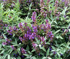 Sage Herb Seeds/Salvia Officinalis/Perennial by MyFlowerGrounds on Etsy Salvia Officinalis, Sage Health Benefits, Sage Garden, Sage Herb, Dried Flower Arrangements, Herb Seeds, Plantar, Medicinal Herbs, Kraut