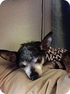 """Woodlawn, TN - Chihuahua Mix. Meet """"Mojo"""" a Senior boy for Adoption and in need of a loving forever home."""