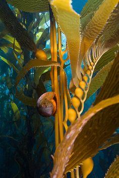 Norris Top Snail on the kelp at Anacapa Island. Underwater Plants, Underwater Photos, Underwater Photography, Underwater Creatures, Ocean Creatures, Kelp Forest, Sea Plants, Under The Ocean, Water Life