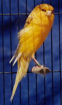 A Yorkshire Canary Love Birds, Beautiful Birds, Finch Bird House, Canary Birds, Budgies, Parrots, Animals And Pets, Cute Animals, Bird Cages