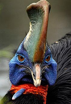 ...a Single-wattled Cassowary...what a face...what a name!