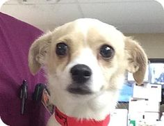 Tampa, FL - Chihuahua/Terrier (Unknown Type, Small) Mix. Meet Kimmy, a dog for adoption. http://www.adoptapet.com/pet/16805443-tampa-florida-chihuahua-mix