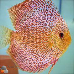 Fish Tank Lovers — Red Leopard Sknakeskin Discus fish.                                                                                                                                                                                 More