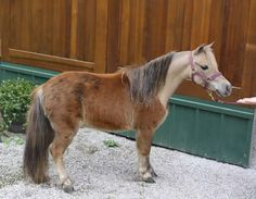 These days driving horses are in higher demand than ever before, and here is a great opportunity to acquire one! While still a bit green under harness, it won't be long before she is shocking the show ring like her sire, a 4X World Champion, did. Offered by Mini Horse Sales