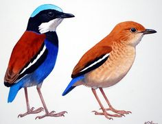 The Blue-headed Pitta, Pitta baudii, is a species of bird in the Pittidae family. It is found in Brunei, Indonesia, and Malaysia.