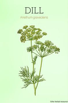 Dill Herb - Side Effects, Uses and Benefits