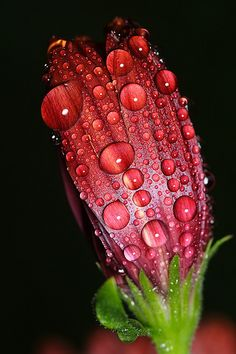 Rained yesterday on osteospermum bud by Lord V, via Flickr