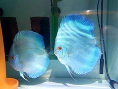Discus Aquarium, Tropical Fish Aquarium, Discus Fish, Freshwater Aquarium Fish, Aquarium Fish Tank, Fish Ocean, Fish Tanks, Fish Gallery, Betta Fish Types
