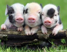 Just three little pigs