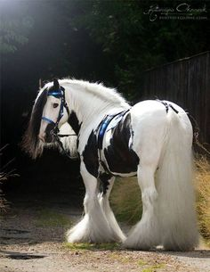 So sweet! I love draft horses All The Pretty Horses, Beautiful Horses, Animals Beautiful, Beautiful Beautiful, Absolutely Gorgeous, Beautiful Things, Majestic Horse, Majestic Animals, Cute Horses