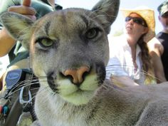 Petting a cougar.  One of the best days of my life.