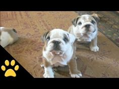 Bulldogs Are Awesome: Compilation - http://www.doggietalent.com/2014/11/bulldogs-are-awesome-compilation/