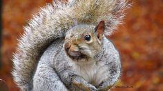 squirrel by Vidislava Ⓥ Todorova on Squirrel, My Photos, Autumn, Animals, Animales, Fall Season, Animaux, Squirrels, Fall