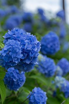 Gorgeous Blue Hydrangeas