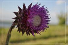 Фиолетовый сорняк