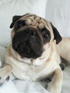 Mellow the Pug ♥